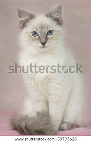 4 month old ragdoll kitten - stock photo