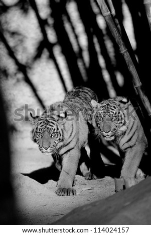 6 Month old Sumatran Tigers approach - stock photo