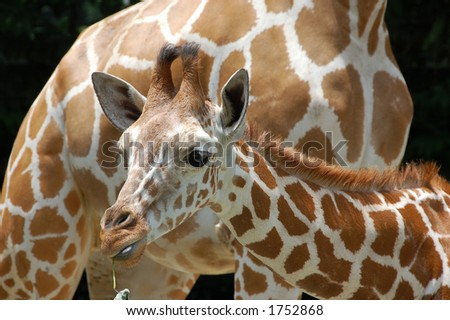 8 months old baby giraffe and mother - stock photo