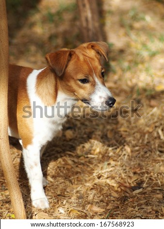 7 months young Jack Russel terrier dog white and brown playing on a brown dried grass field - stock photo