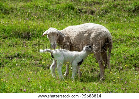 Mother and baby sheep on pasture - stock photo