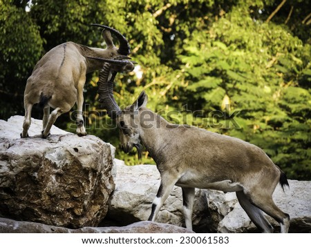 2 mountain goats (Ibex) fighting with horns on rocks with trees in the background - side view - stock photo