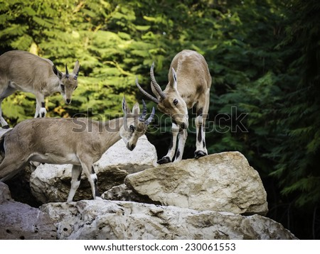3 mountain goats (Ibex) playing with their horns together on rocks with trees in the background - side view - stock photo