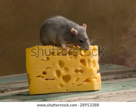 mouse and cheese - stock photo