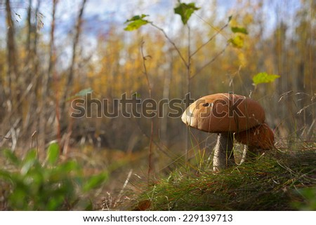 mushrooms take sun bath in autumn forest                              - stock photo