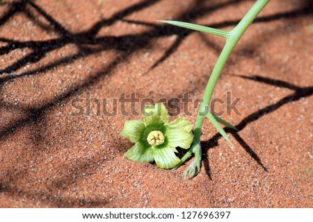 """Nara"" Xerophytic plant flower detail (Acanthosicyos horrida) in the sandy Namib Desert. South African Plateau, Central Namibia - stock photo"