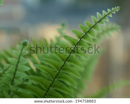 Nephrolepis exaltata fern leaves, soft and selective focus - stock photo
