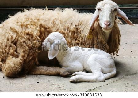 new born sheep,Abandoned new-born lamb  - stock photo