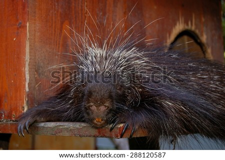 North-American Tree Porcupine (Erethizon dorsatum) - stock photo