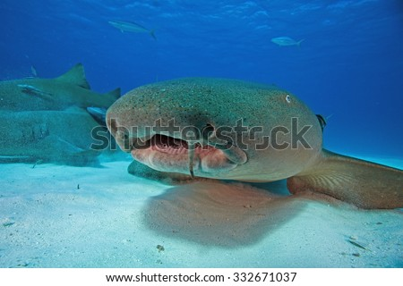 Nurse shark, Nebrius ferrugineus - stock photo