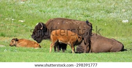 nursing  bison calf  in custer state park,  south dakota    - stock photo
