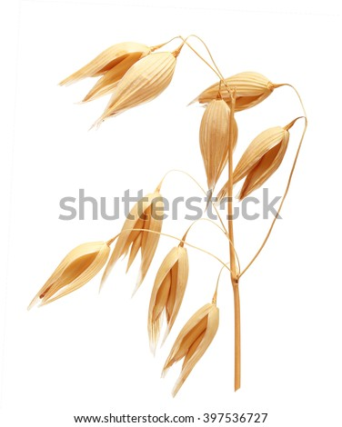Oat ears of grain isolated on white background - stock photo