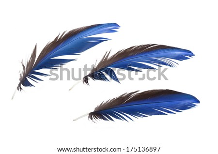 3 of Real MACAW bird Feathers. Natural colors: Blue, Grey. Isolated on white background.  - stock photo