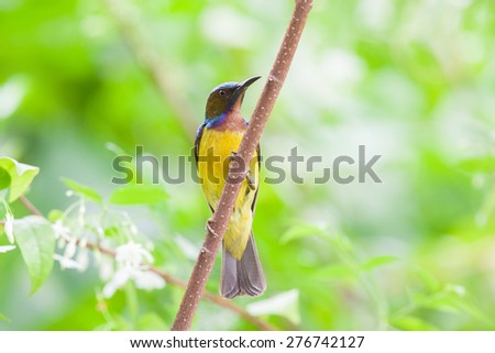 Olive-backed sunbird, Yellow-bellied sunbird, Eat nectar from flowers - stock photo