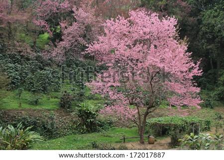 one sakura tree - stock photo