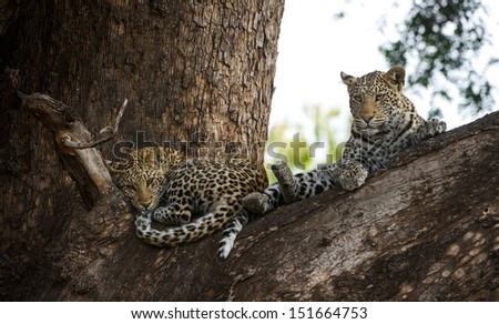 2 one year old leopard cubs in a tree.  - stock photo