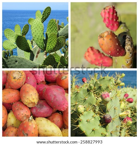 Opuntia ficus-indica fruits and plants ( called also as Indian fig opuntia, barbary fig, prickly pear )     - stock photo