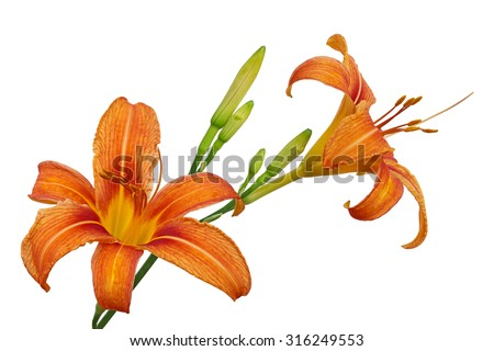Orange Day Lily flower or Tiger Daylily, Fulvous Daylily, Ditch Lily, Railroad Daylily, Tiger Lily - stock photo