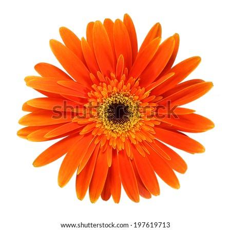 Orange gerbera daisy close-up - stock photo
