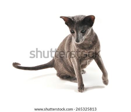 oriental cat isolated - stock photo