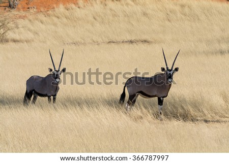 2 Oryx in grassland. namibia, africa. - stock photo