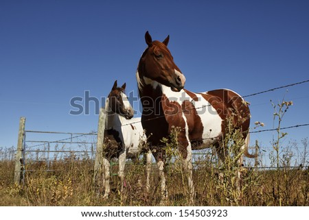2 paint horses standing by a fence with a blue sky - stock photo