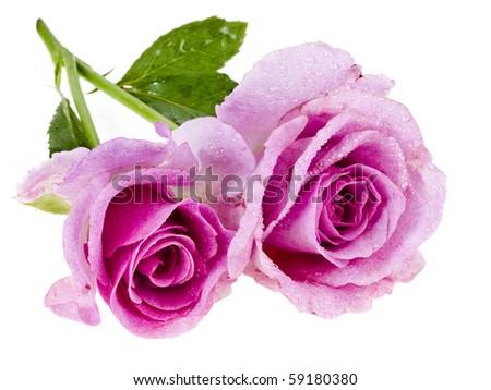 pair beautiful roses isolated on white background - stock photo