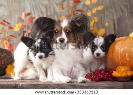 Papillon dogs mother and her puppy - stock photo