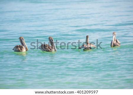 4 Pelicans in the Gulf of Mexico water waiting to spot a fish for dinner - stock photo