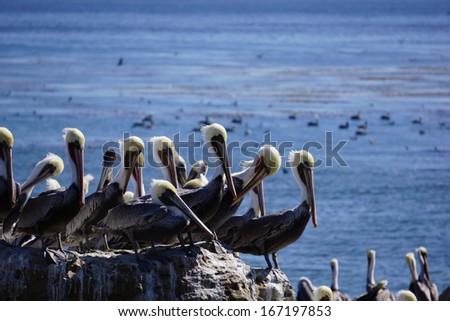 pelicans on shoreline - stock photo