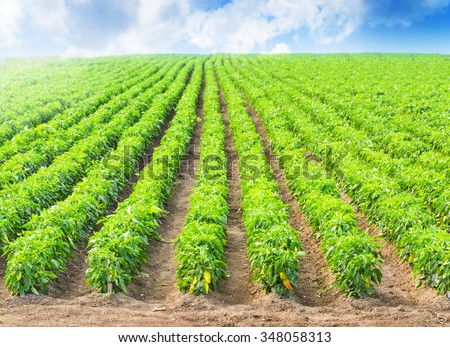 Peppers in a field with irrigation system and blue sky  - stock photo