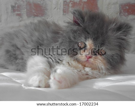 """persian cat """"Basilia"""" - stock photo"""