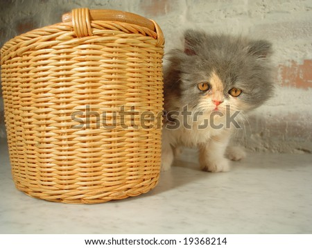 "persian cat ""Basilia"" in cane wicker basket - stock photo"