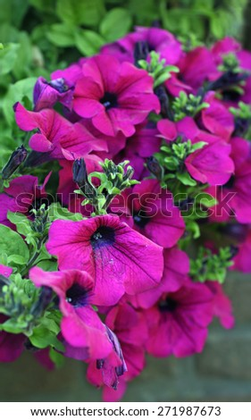 Petunia surfina plant in magenta color - stock photo