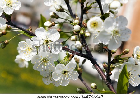 Photo Cherry blossoms in the spring of the year - stock photo