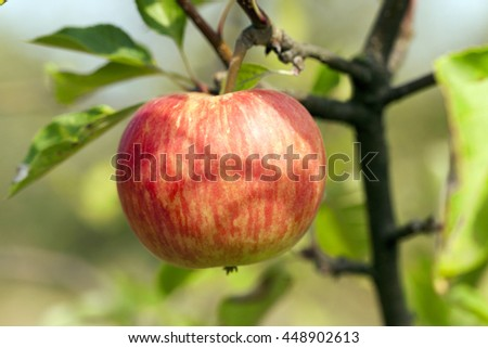 photographed close-up apple tree on which hang ripe apples - stock photo