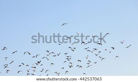 photographed close-up blue sky, in which a flock of birds flying, visible silhouettes, daytime, - stock photo
