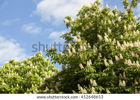 photographed close up bright flowers of chestnut in the spring season, a small depth of field - stock photo