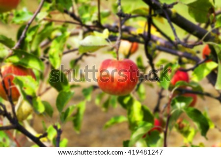 photographed close-up of apple tree on which hang ripe apples, Defocus - stock photo