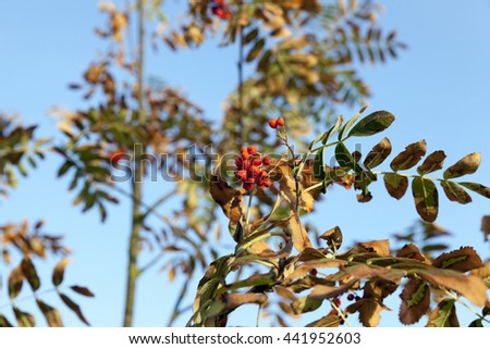 photographed close-up of red berries of rowan tree in autumn season, a small depth of field - stock photo