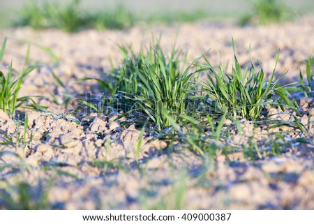 photographed close-up of young green wheat shoots in the drops of dew, - stock photo