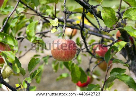 photographed close-up red apple hanging on a branch, a small depth of field - stock photo
