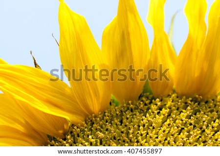 photographed close-up yellow flower of a sunflower, summer, - stock photo