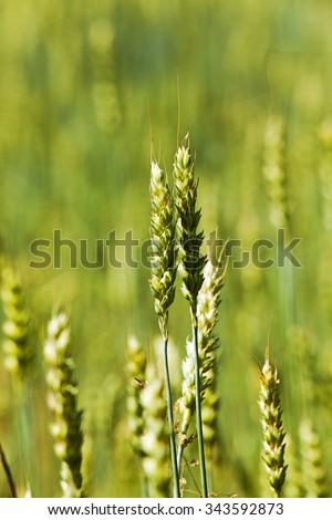 photographed closeup immature cereals. spring season. wheat - stock photo