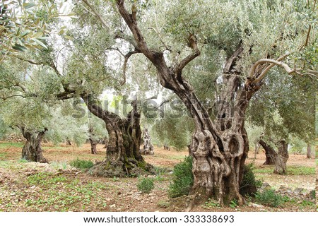 Picturesque landscape with old olive trees in Mallorca.                              - stock photo