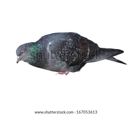 pigeon isolated on white background - stock photo