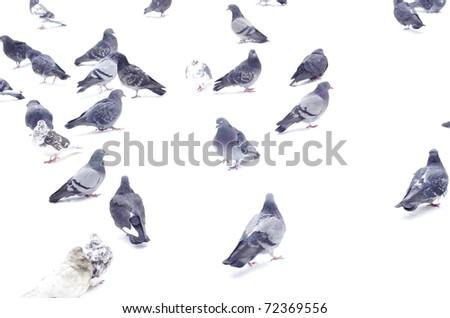 pigeons - stock photo