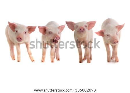 pigs on a white background. studio - stock photo