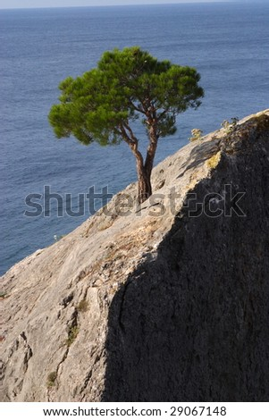pine on a rock - stock photo