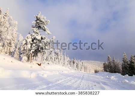 ?pine trees in snow, russian winter, outdoor, snowy pines in sunny day, sunny day in forest, ural mountains, winter forest, russian nature, trees in snow - stock photo